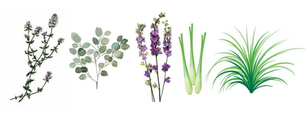 Thyme, Eucalyptus, Lavender, Lemongrass